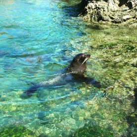 Fur Seal Swimming in Palliser Bay
