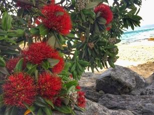 Pōhutukawa blooms