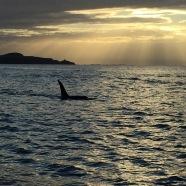 Male Orca Near Kaikoura