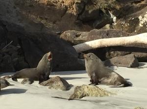 Yip...More Fur Seals