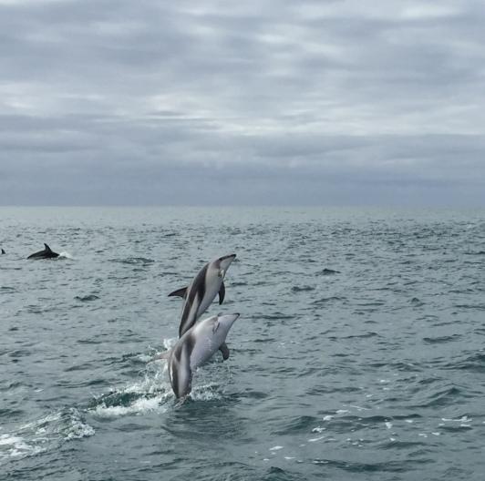 Dusky Dolphins Near Kaikoura