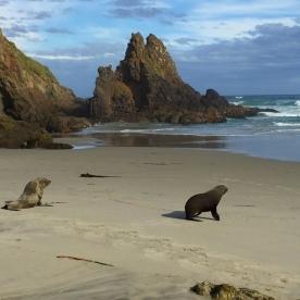Fur Seals On The Otago Peninsula
