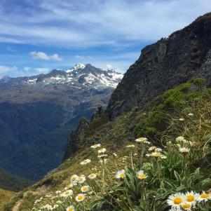 Alpine daisies