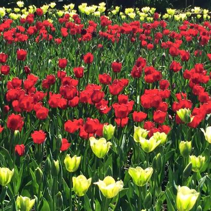 Bot garden spring tulips
